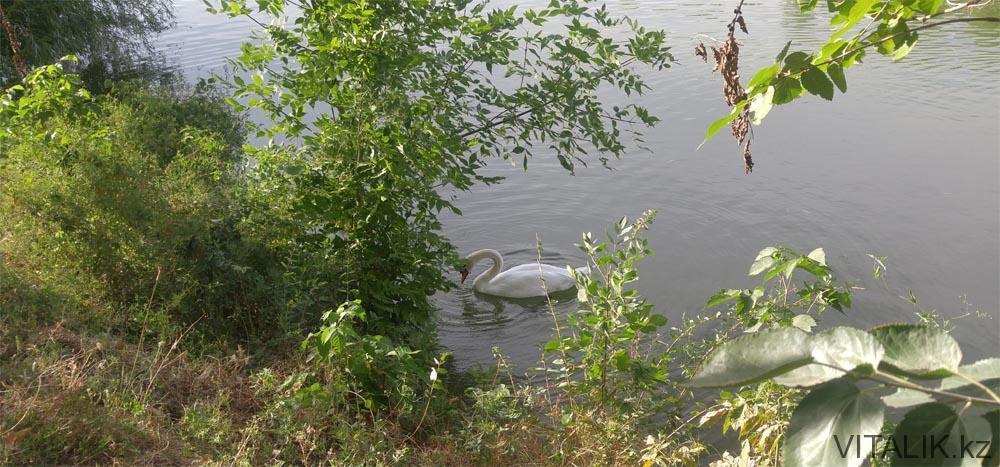 лебедь дендропарк шымкент