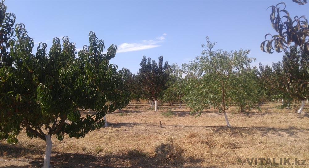 персики сады раимбек