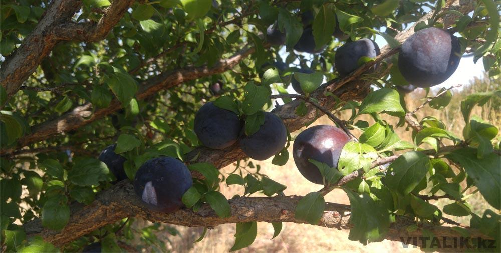 сливы сады раимбек