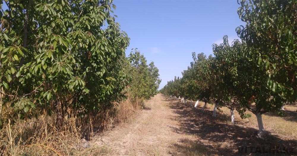 черешня сады раимбек