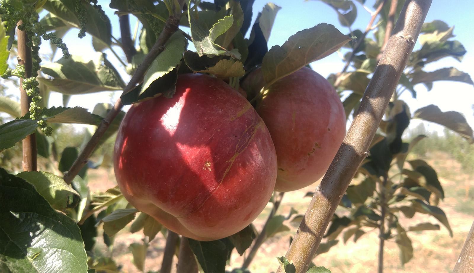 яблоки раимбек сады бахар