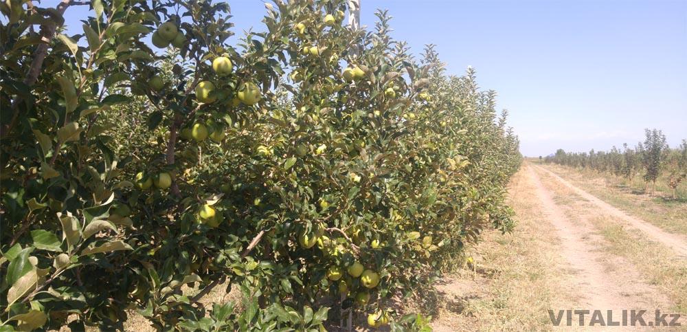 яблоневый сад раимбек