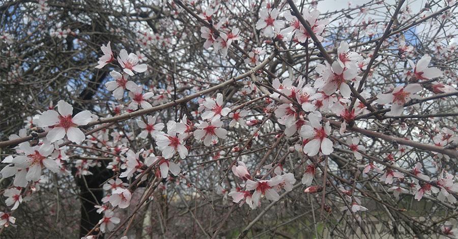 Цветущая яблоня Душанбе