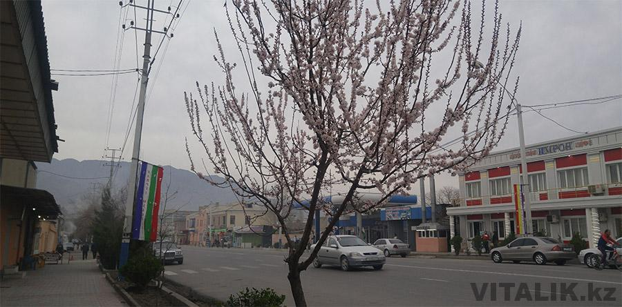 Цветущее дерево Худжанд