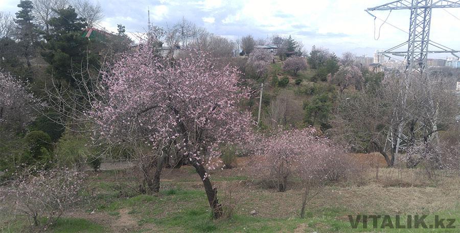Цветущие деревья дорога на Парк Победы