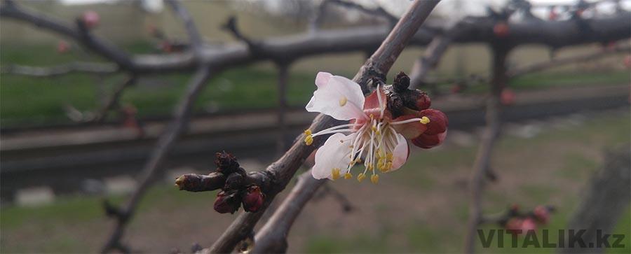 Яблоня цветы Ташкент
